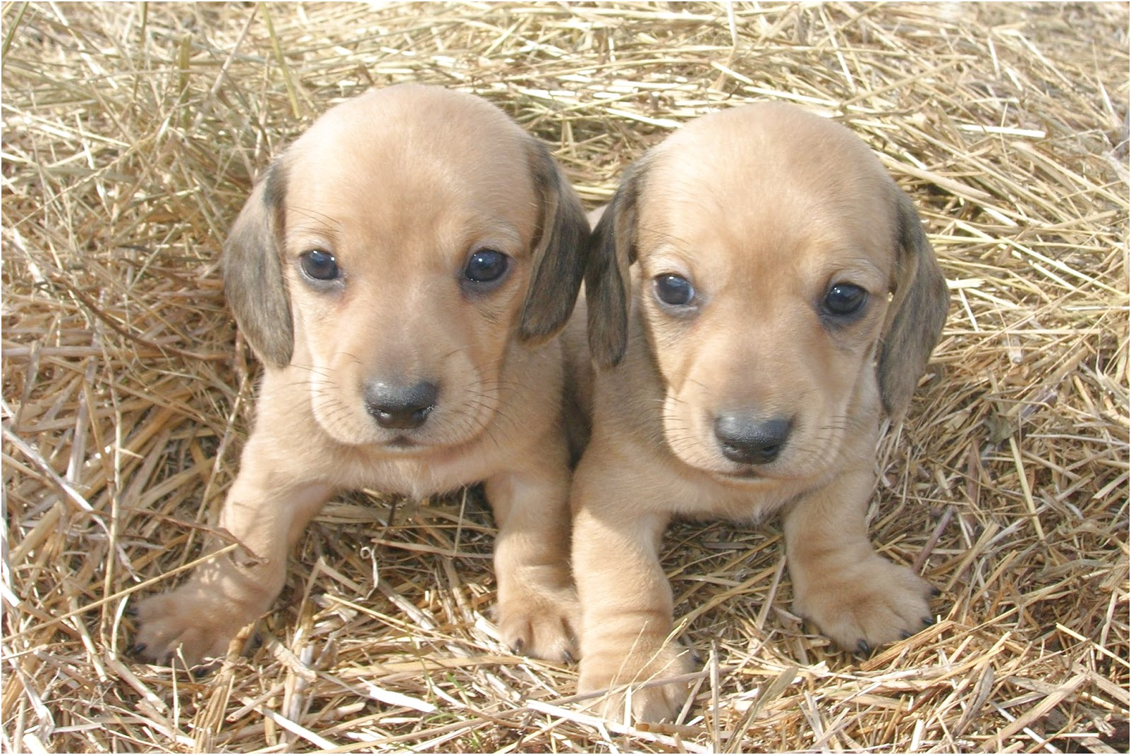 dachshund puppies for sale near chattanooga tn