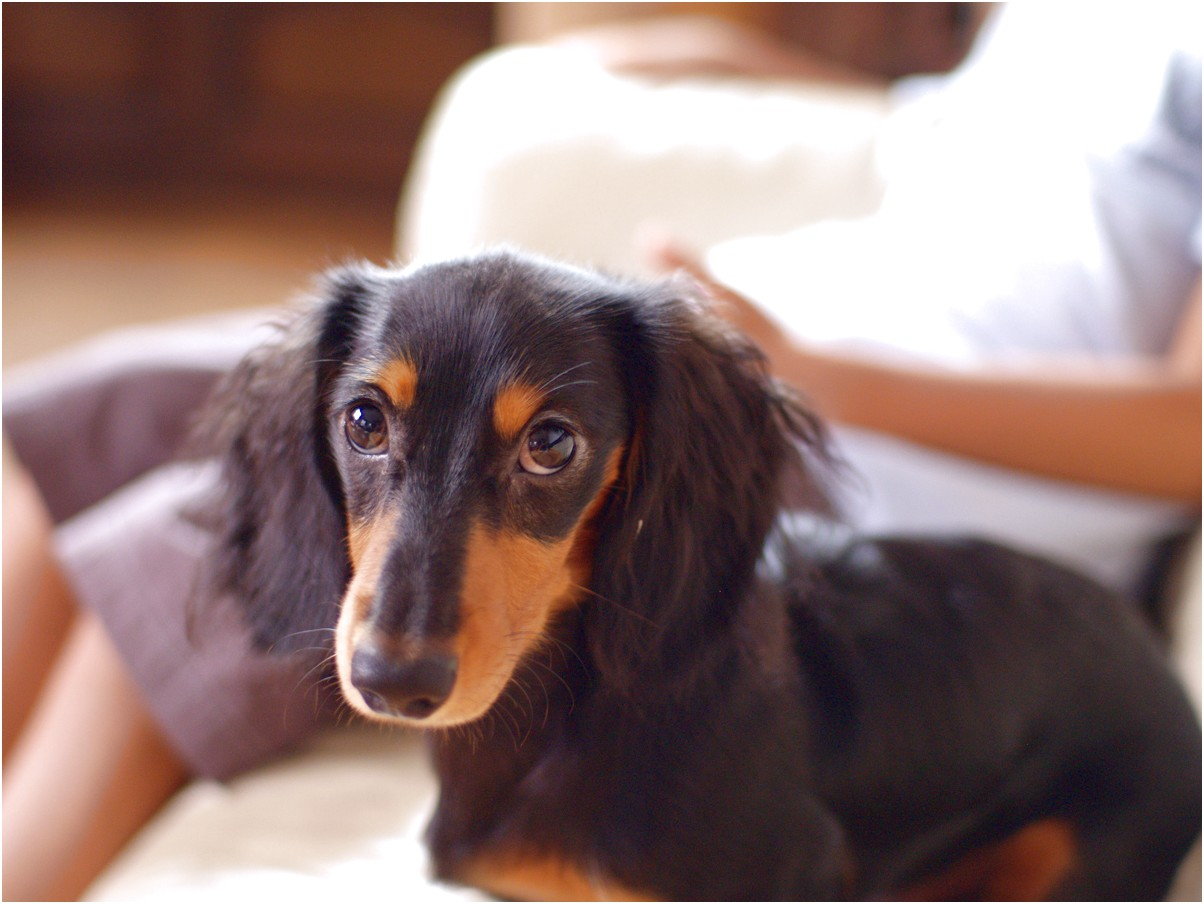 dachshund puppies for sale near chicago