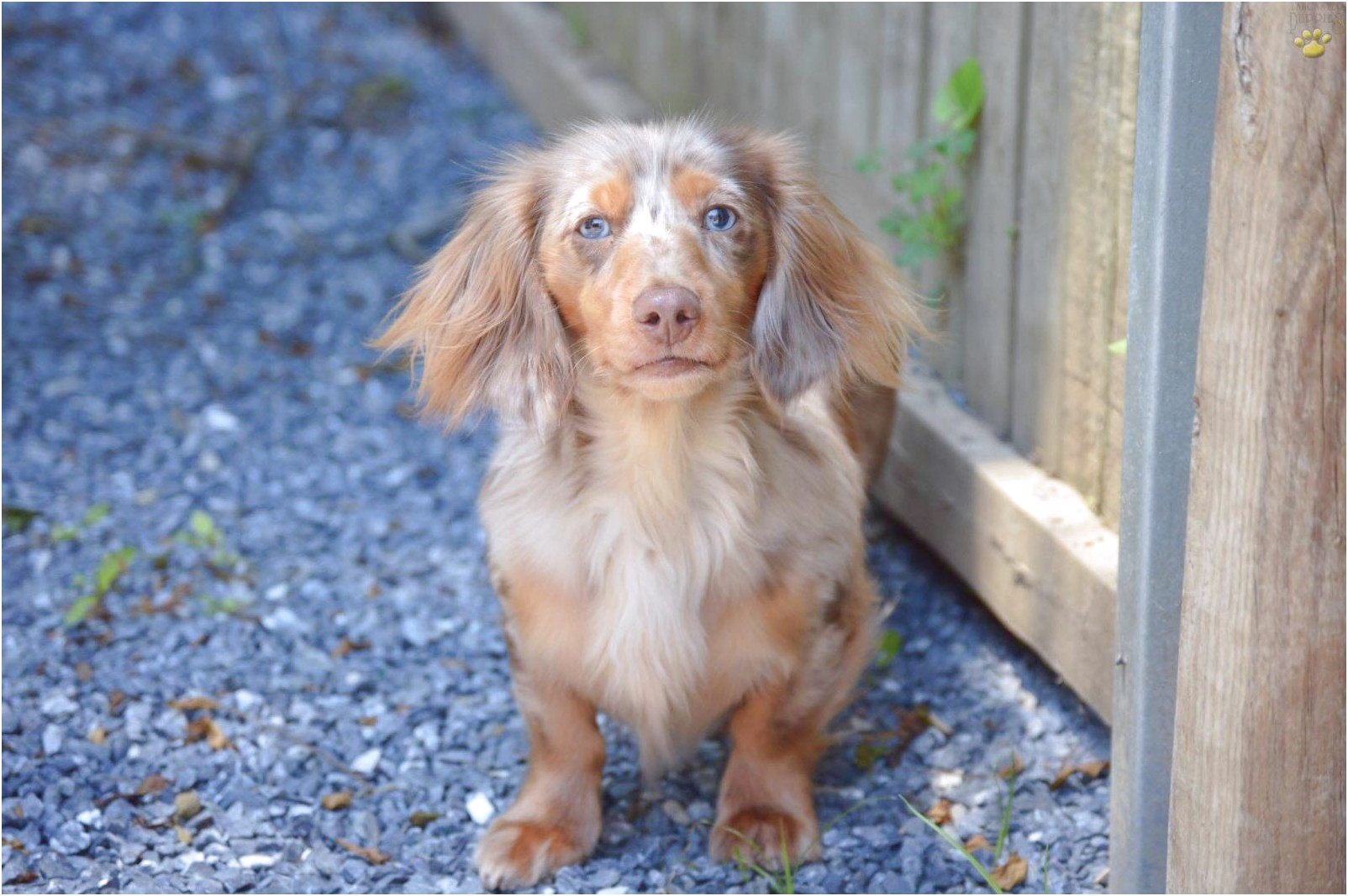 dachshund puppies for sale near fredericksburg va