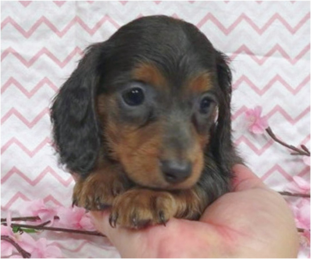 dachshund puppies for sale near jacksonville fl
