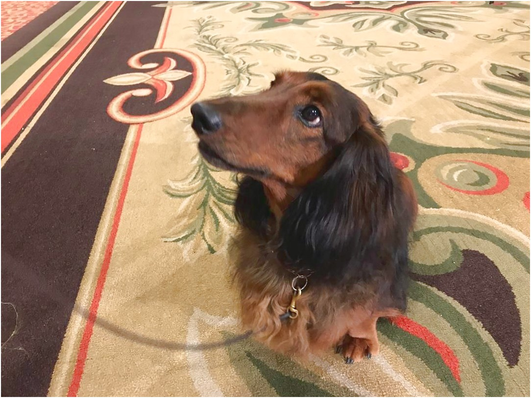 dachshund puppies for sale near louisville ky
