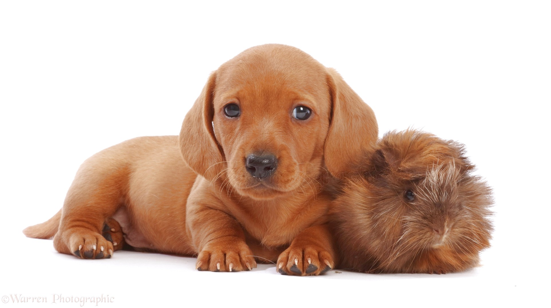 Dachshund Puppies For Sale Near Me Uk