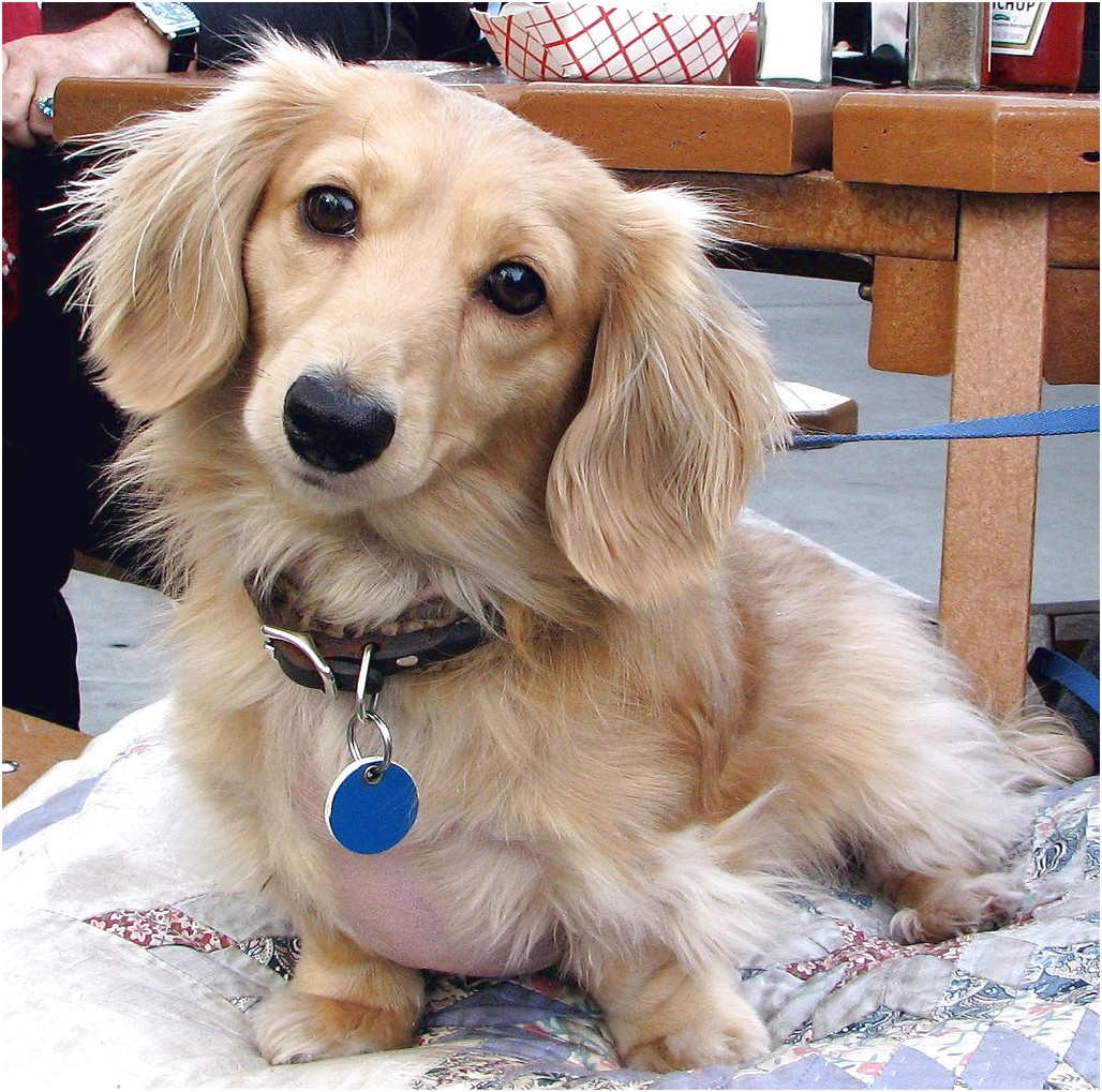 dachshund puppies for sale near new orleans