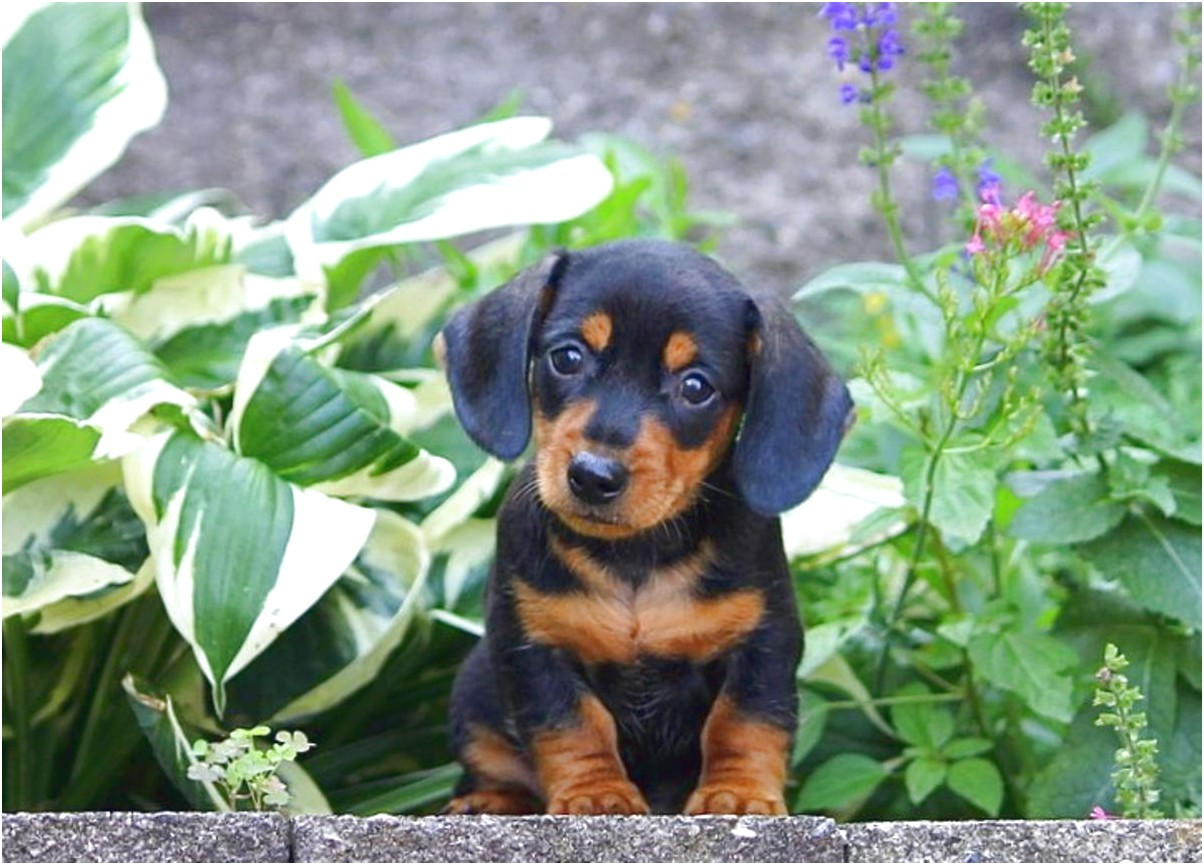 dachshund puppies for sale near philadelphia pa