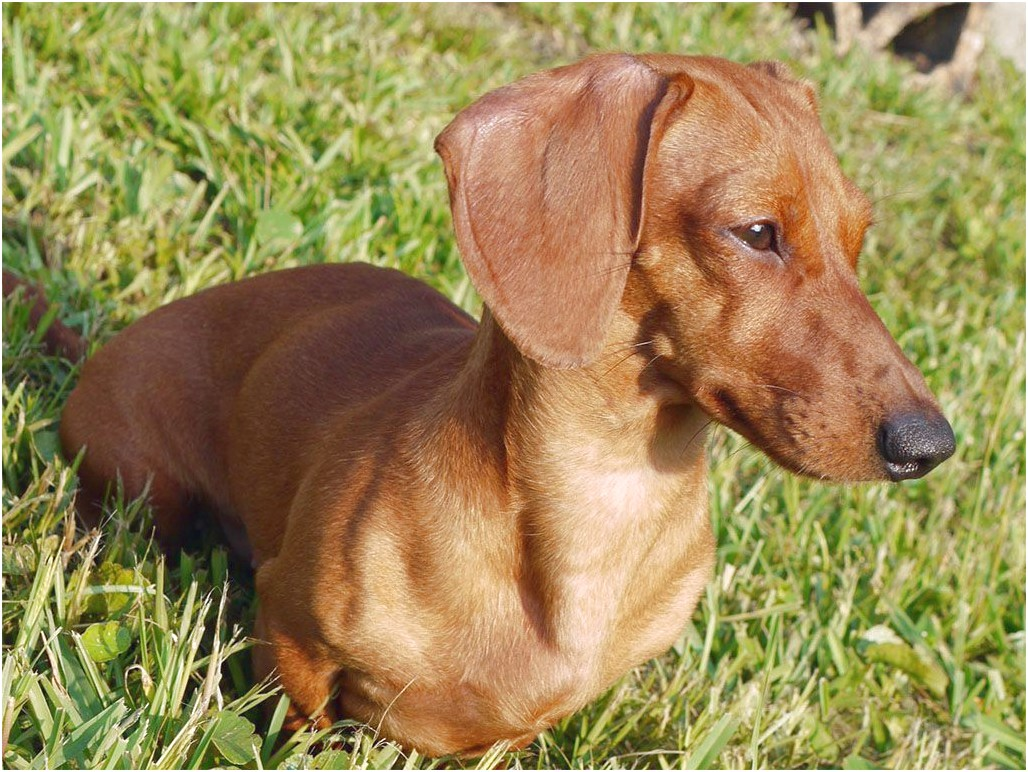 dachshund puppies for sale temple tx