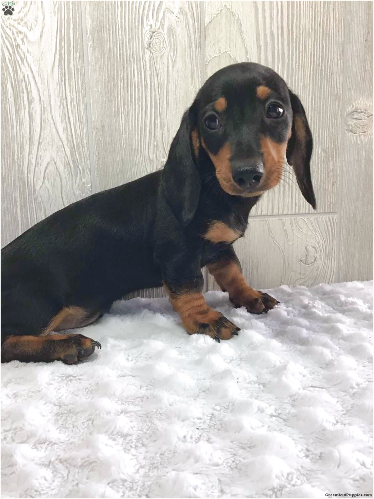 dachshund puppies wooster ohio