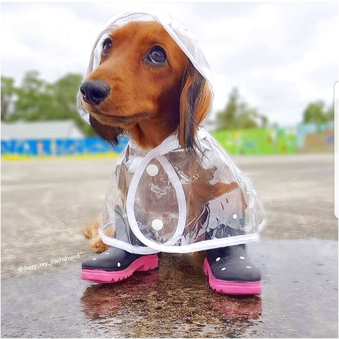 dachshund raincoat clear