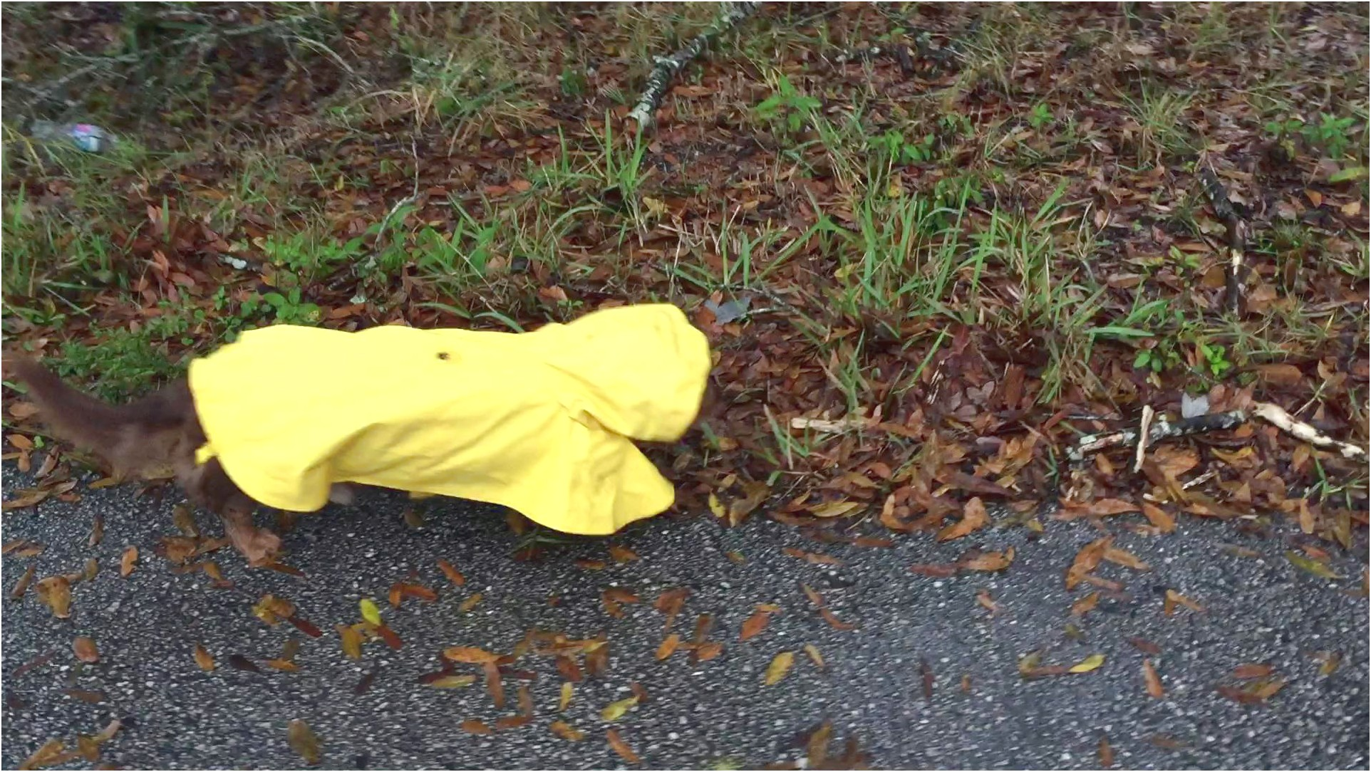 dachshund raincoat yellow