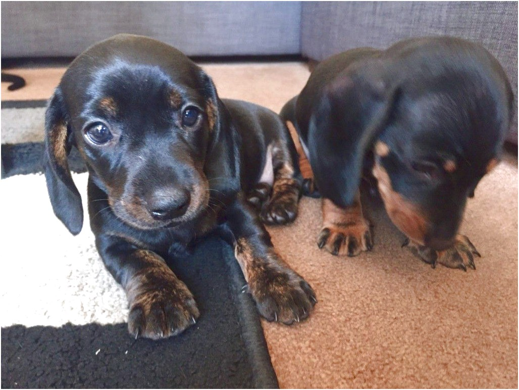 dachshunds for sale near london