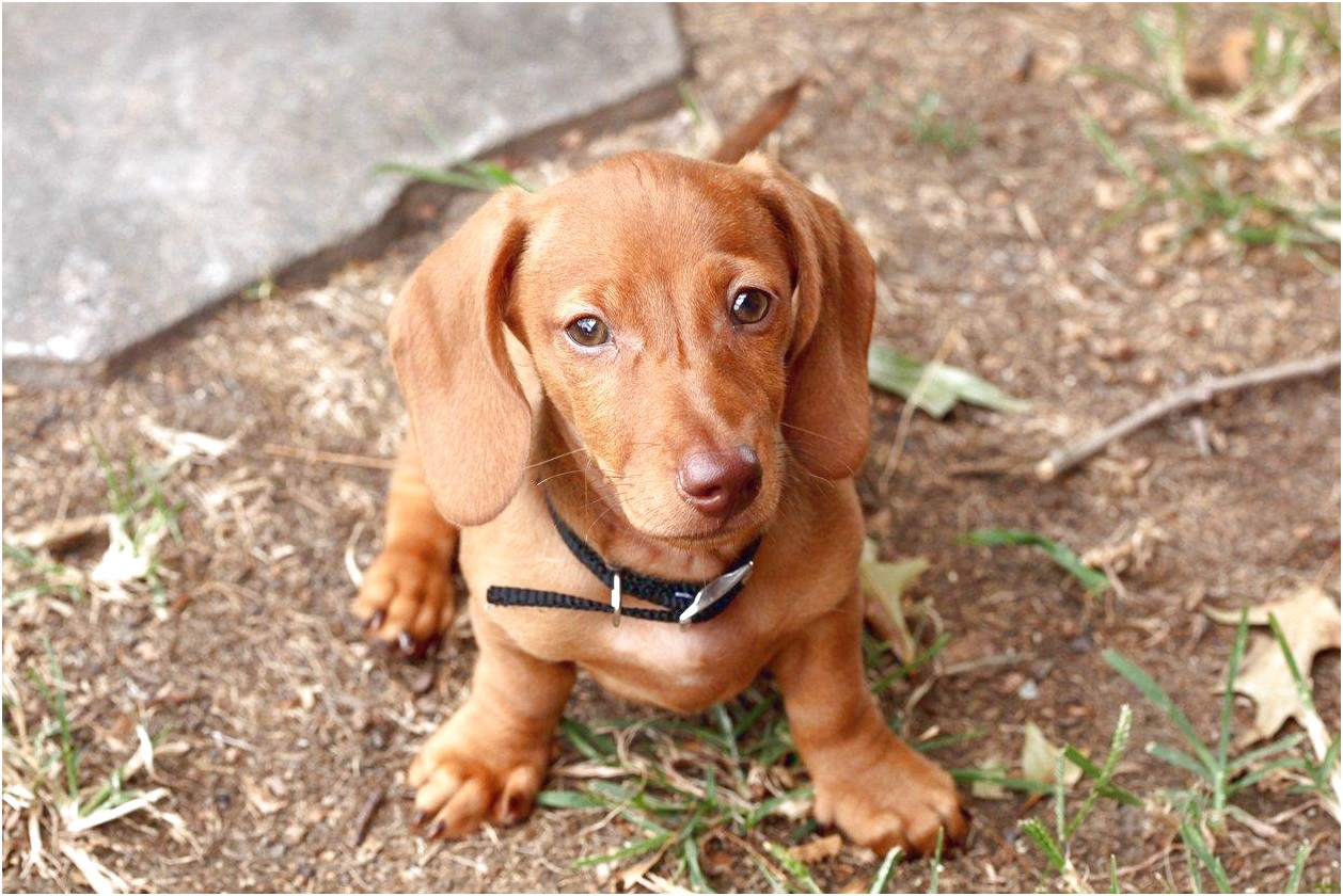 dachshunds for sale near me