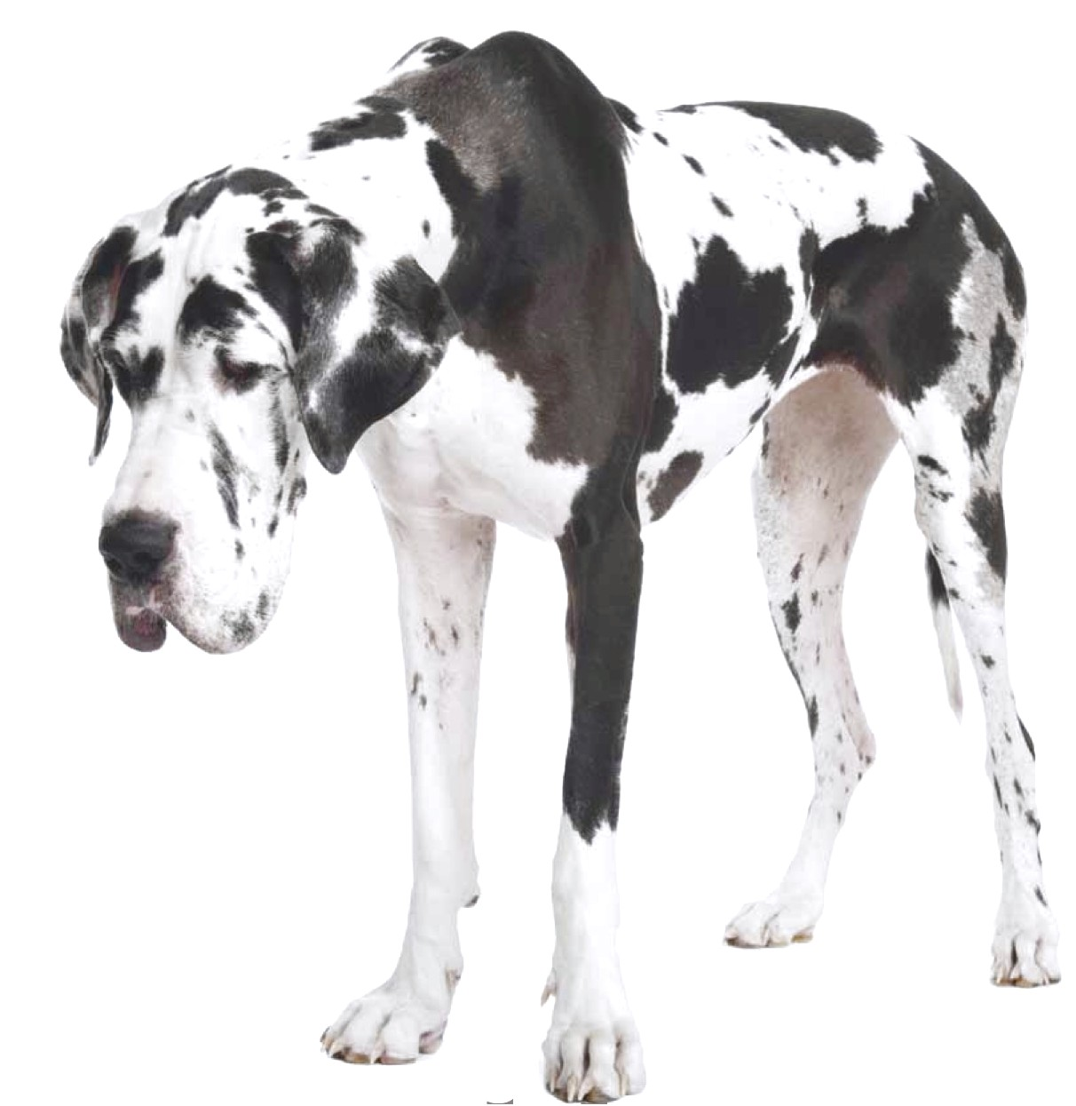 dalmatian x great dane puppies for sale