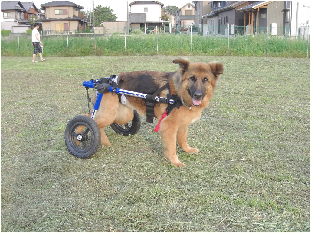 dog wheelchair for dachshund