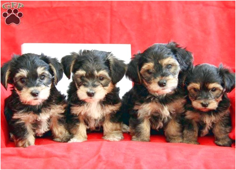 dorkie puppies for sale near me