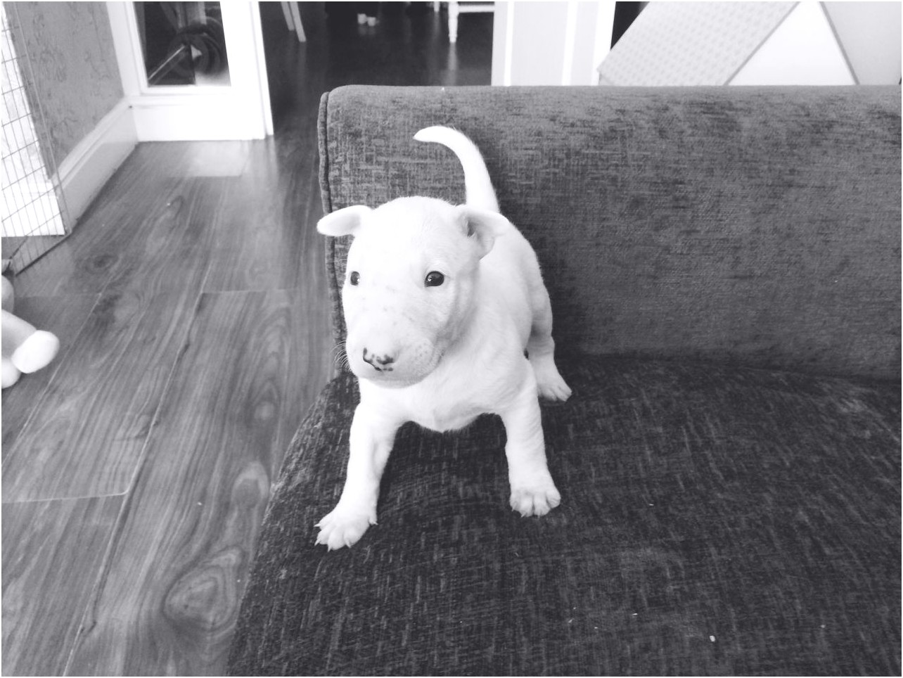 english bull terrier puppies for sale hertfordshire