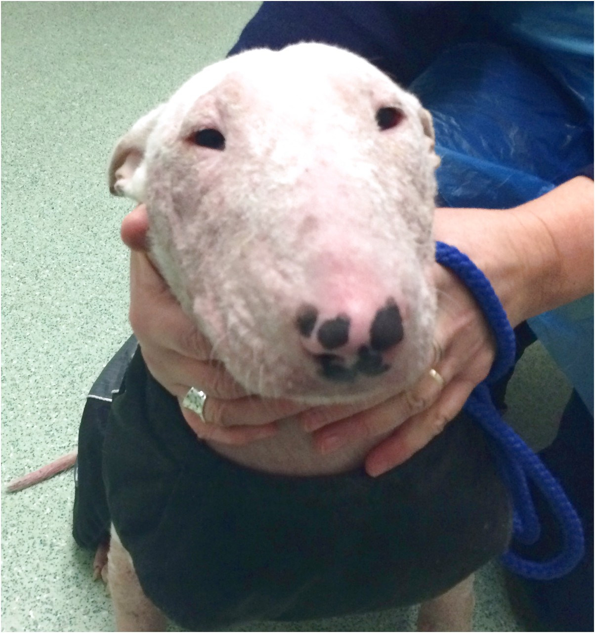 english bull terrier pups west midlands