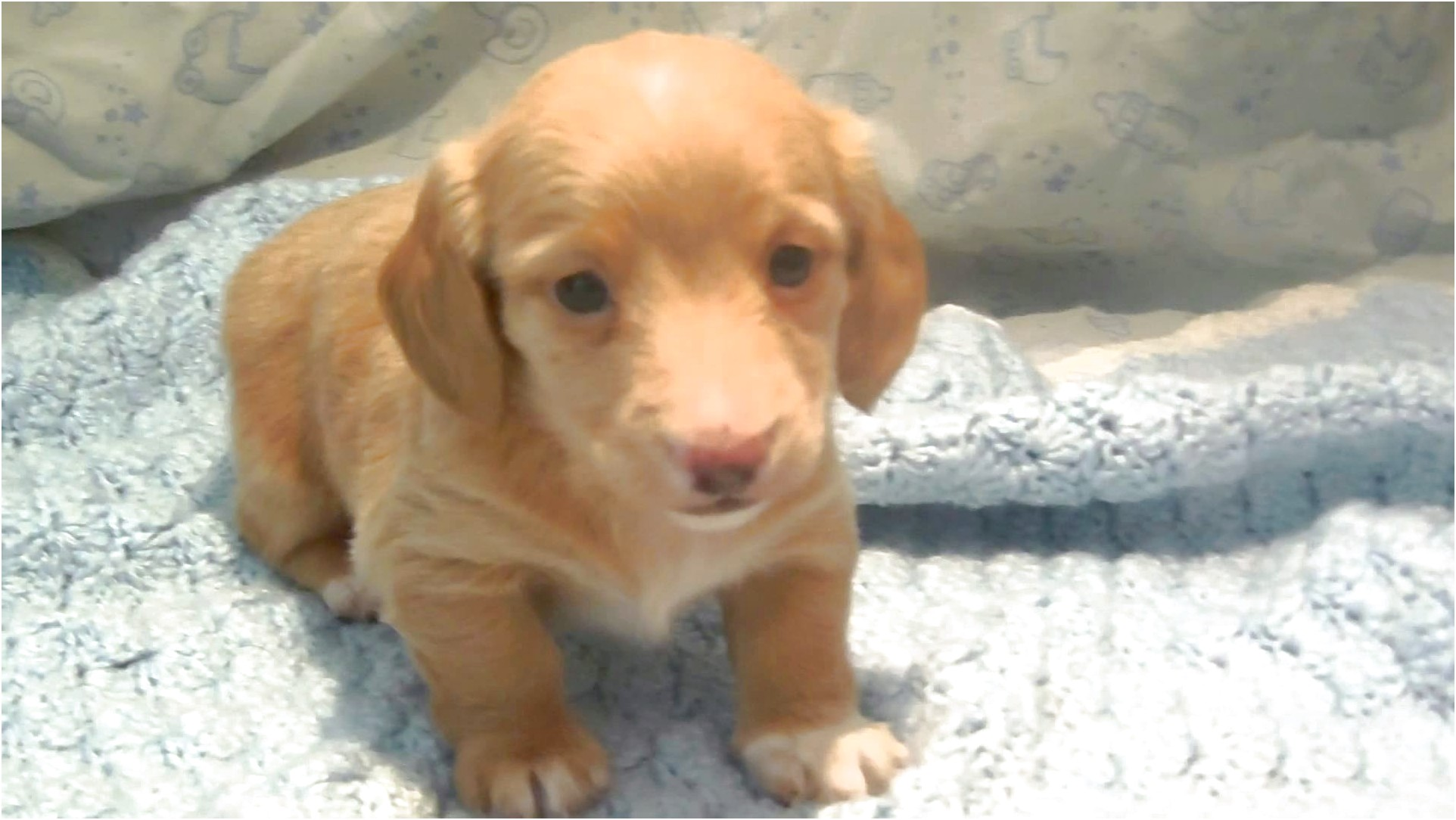 english cream dachshund for sale near me