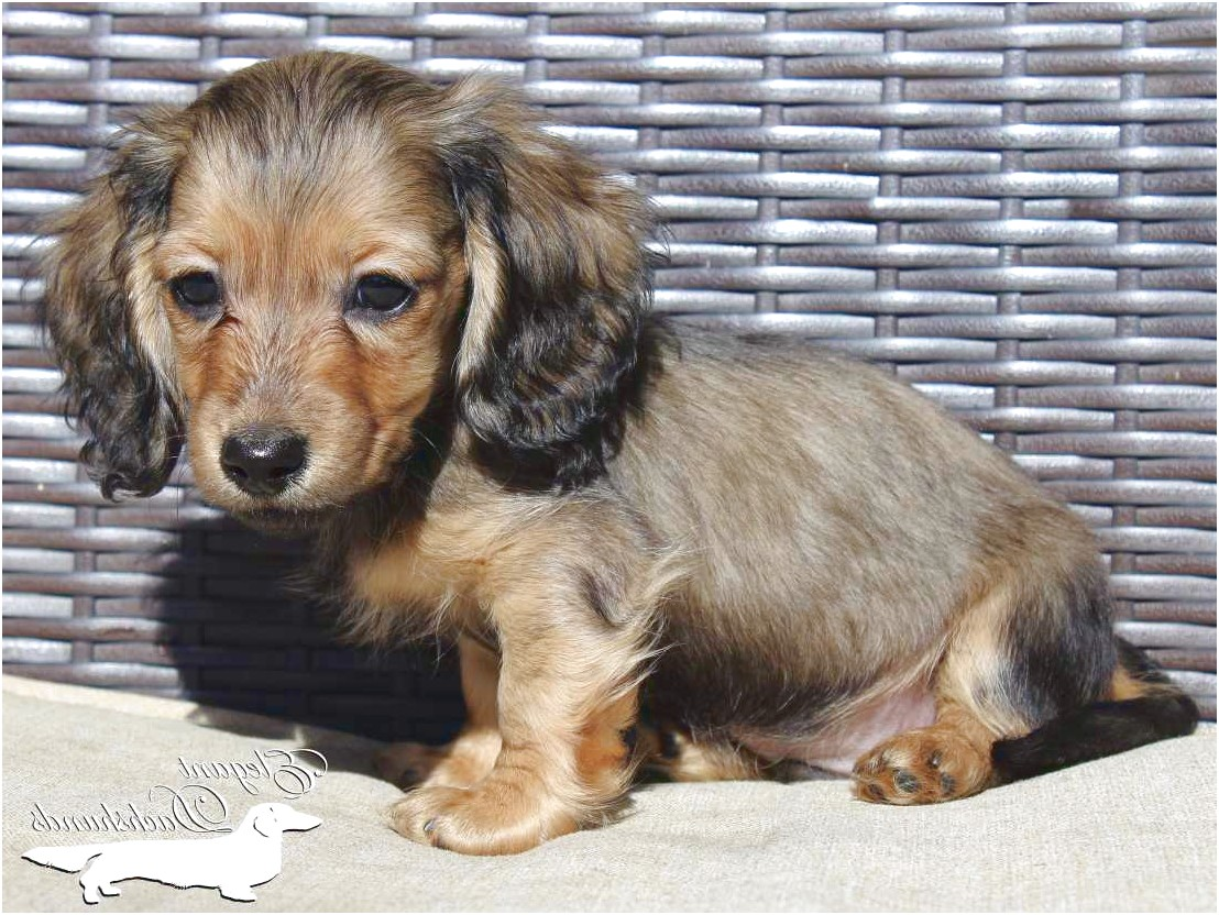 english cream dachshund puppies for sale in nc