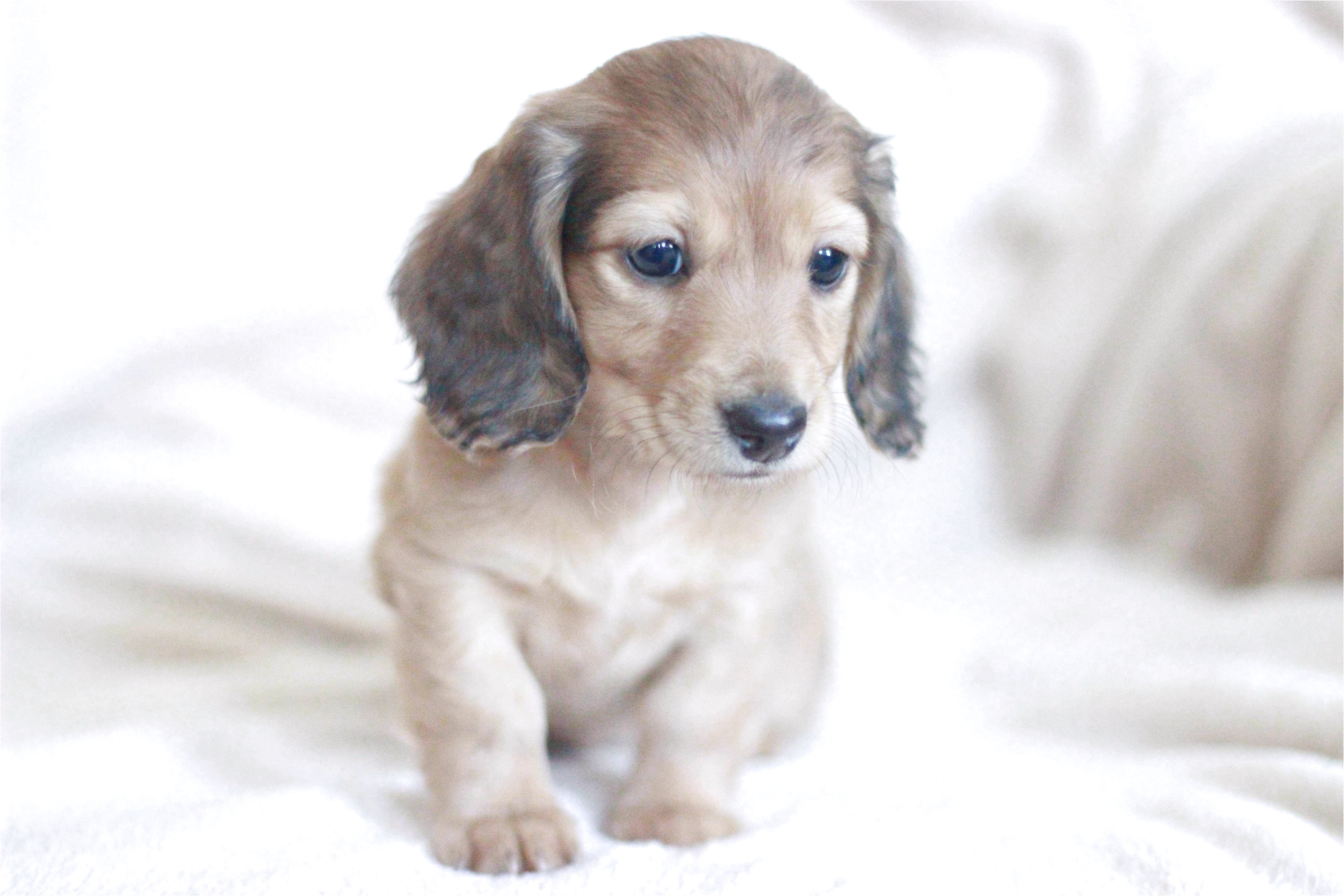 english cream dachshund puppies for sale in texas