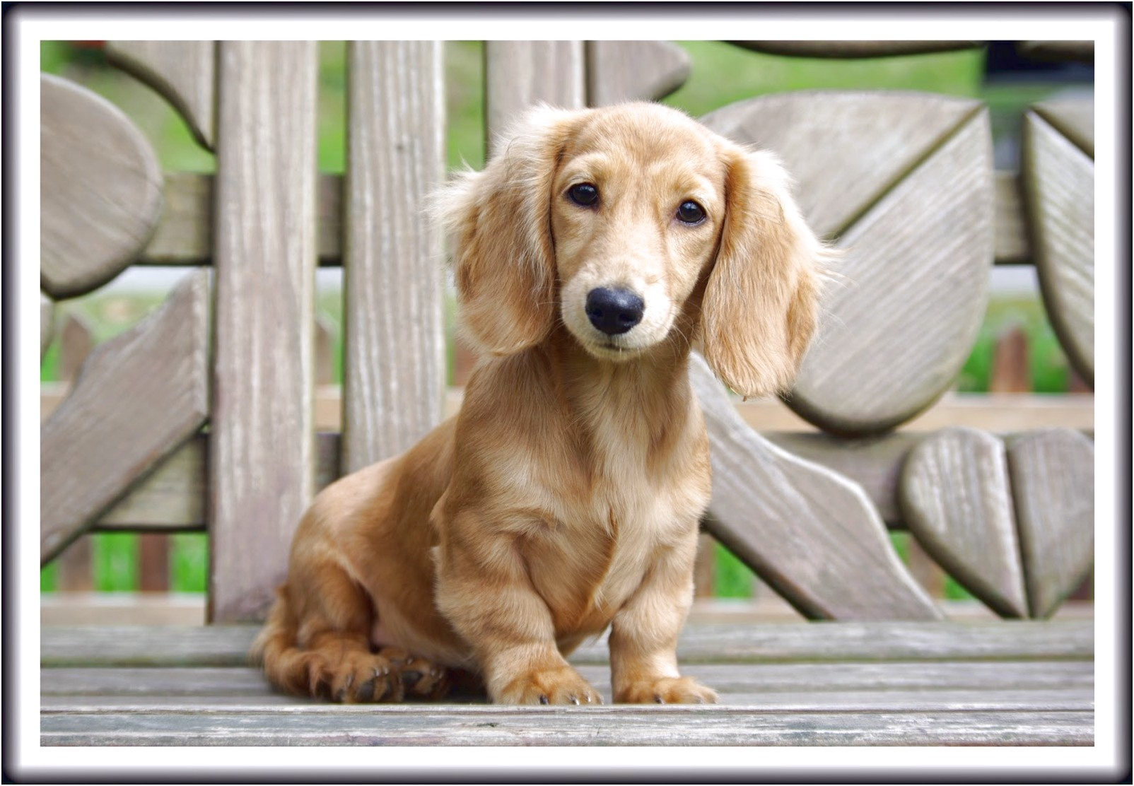 english cream dachshund puppies for sale near me