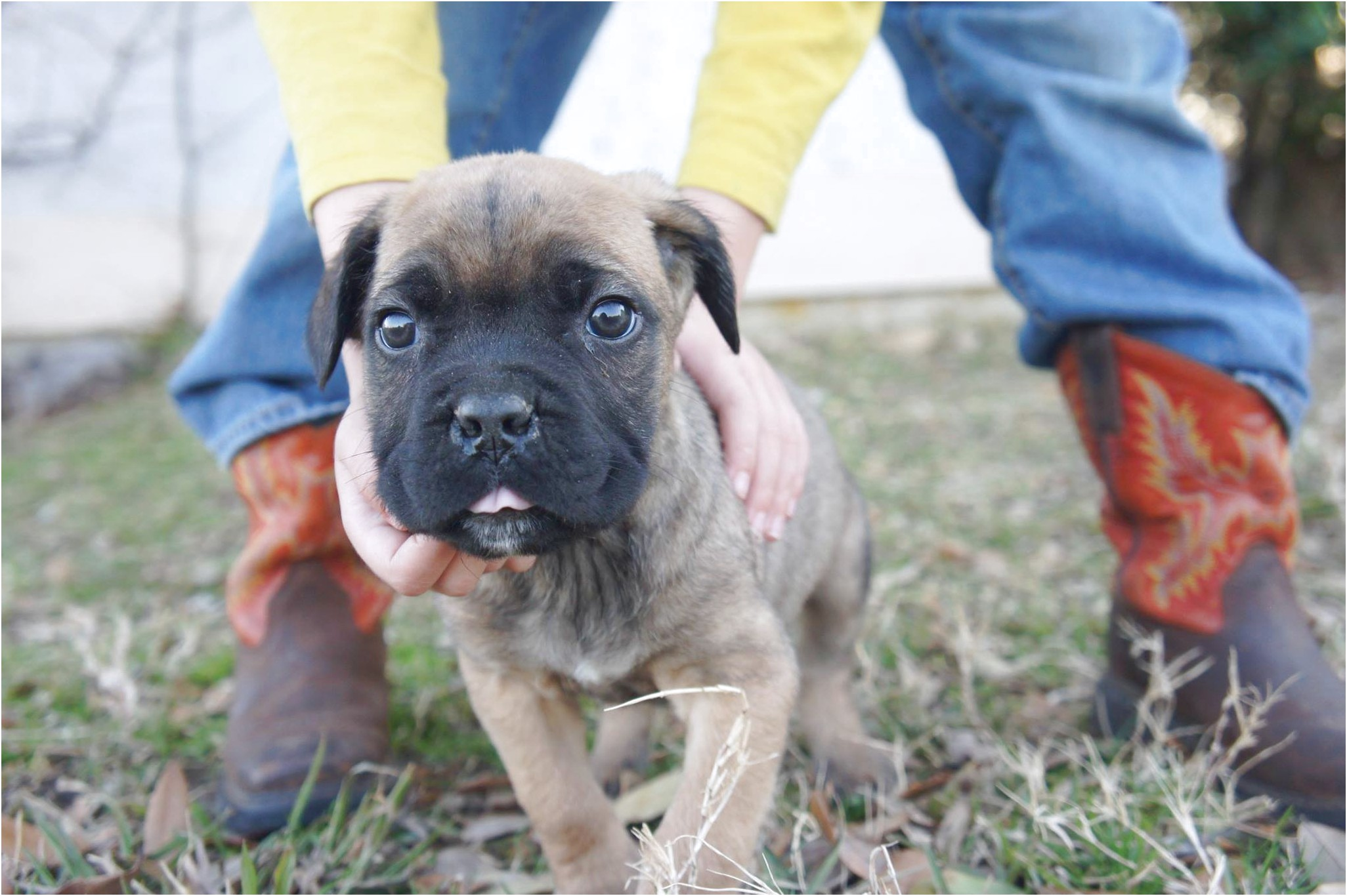english mastiff breeders dallas