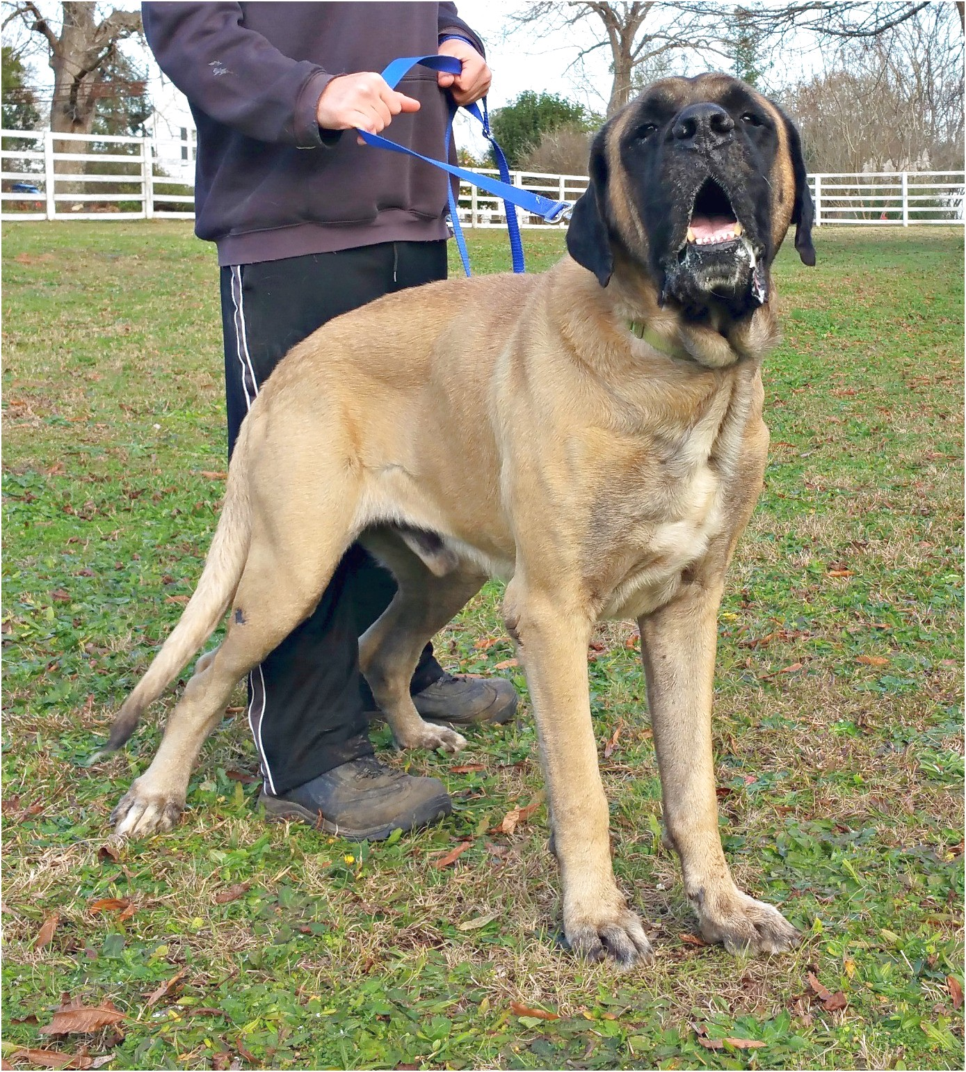 english mastiff breeders georgia