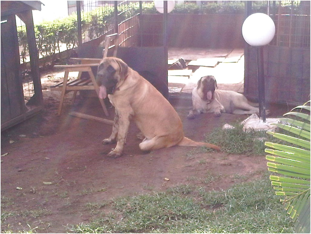 english mastiff breeders in ghana