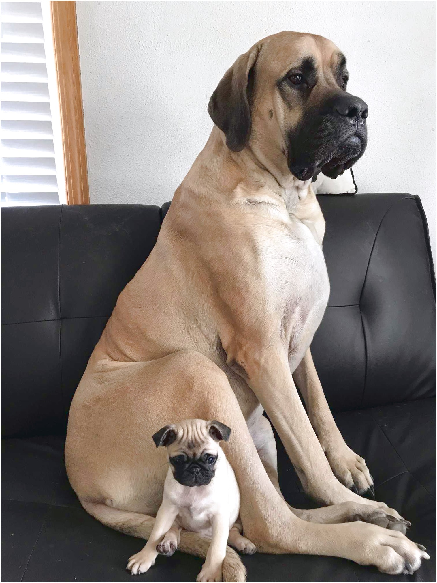 english mastiff breeders puppies for sale