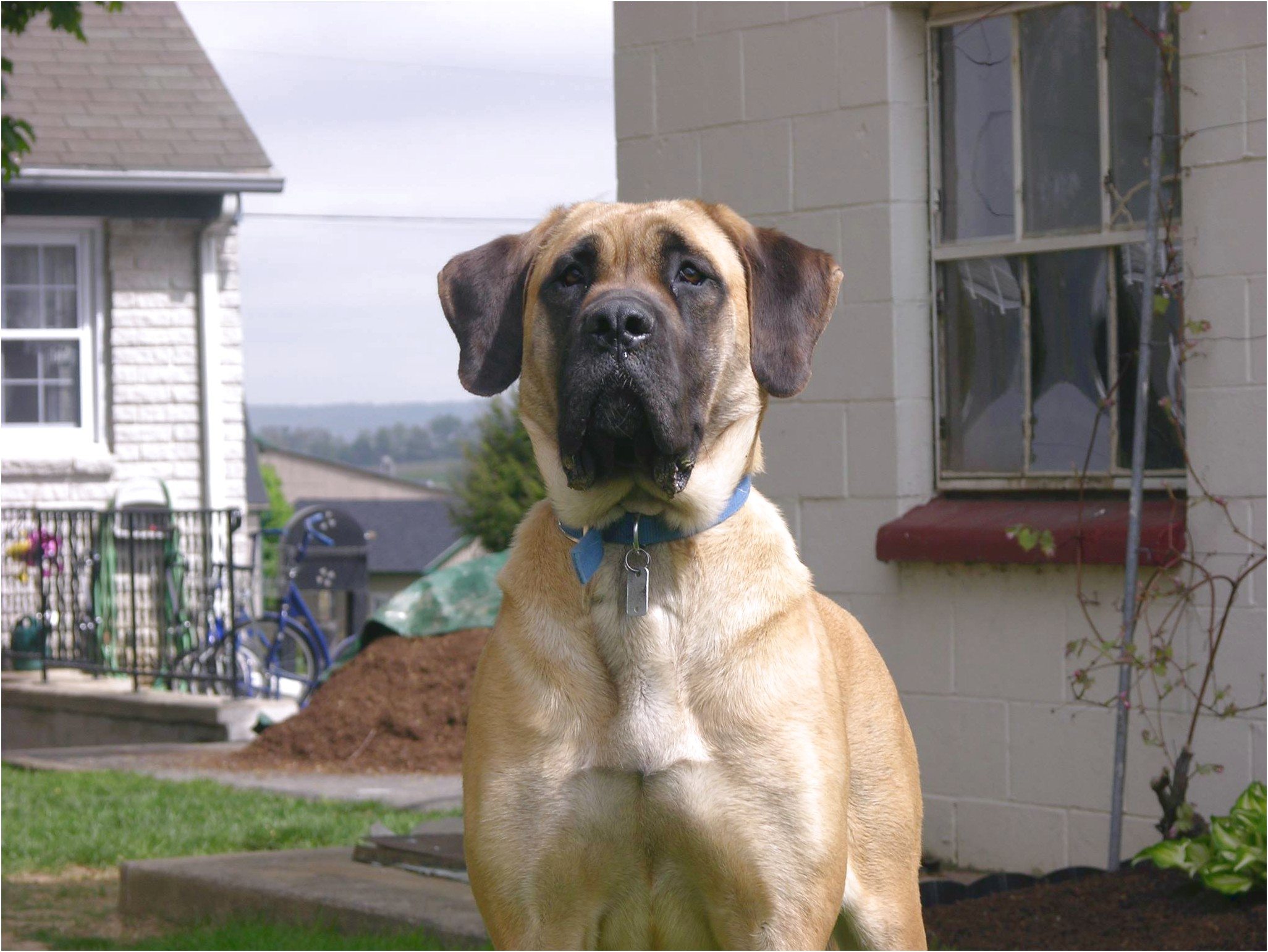 english mastiff breeders wa