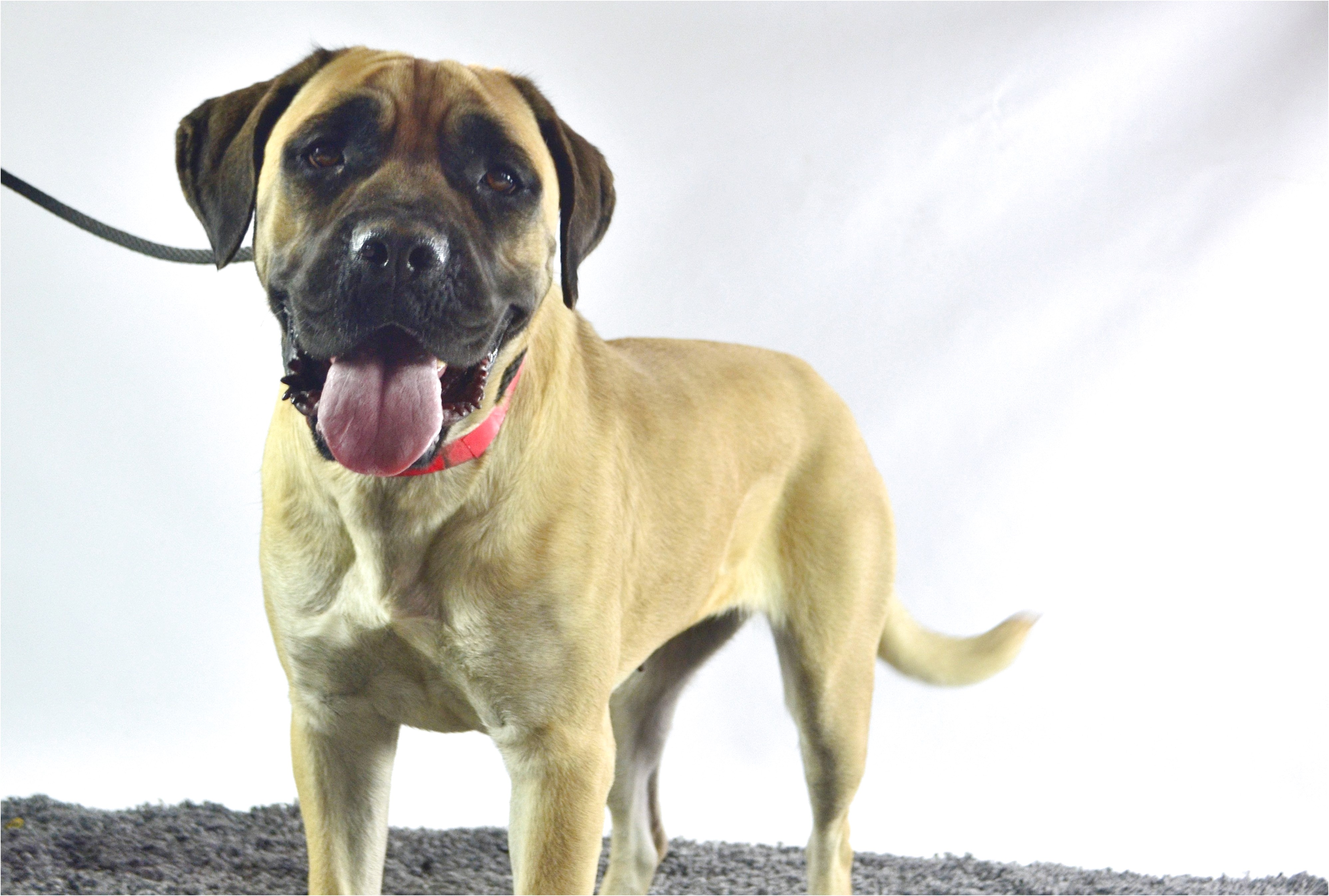 english mastiff rescue alabama