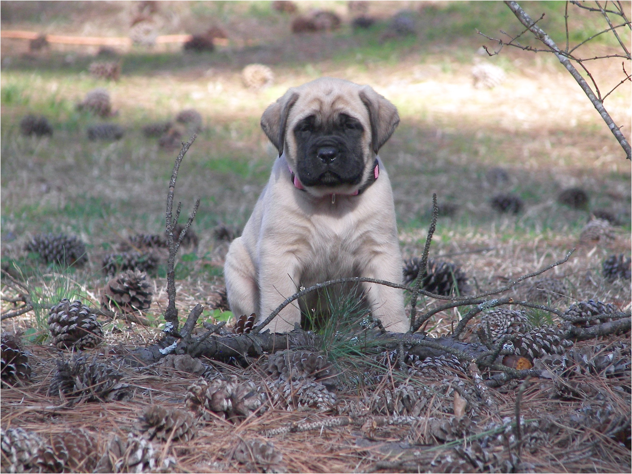 english mastiff rescue near me