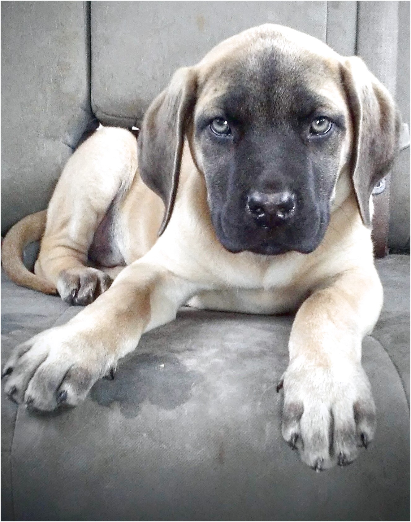 english mastiff rescue nevada
