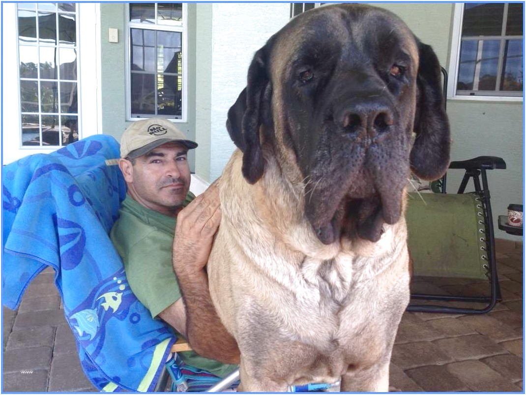 english mastiff rescue ohio