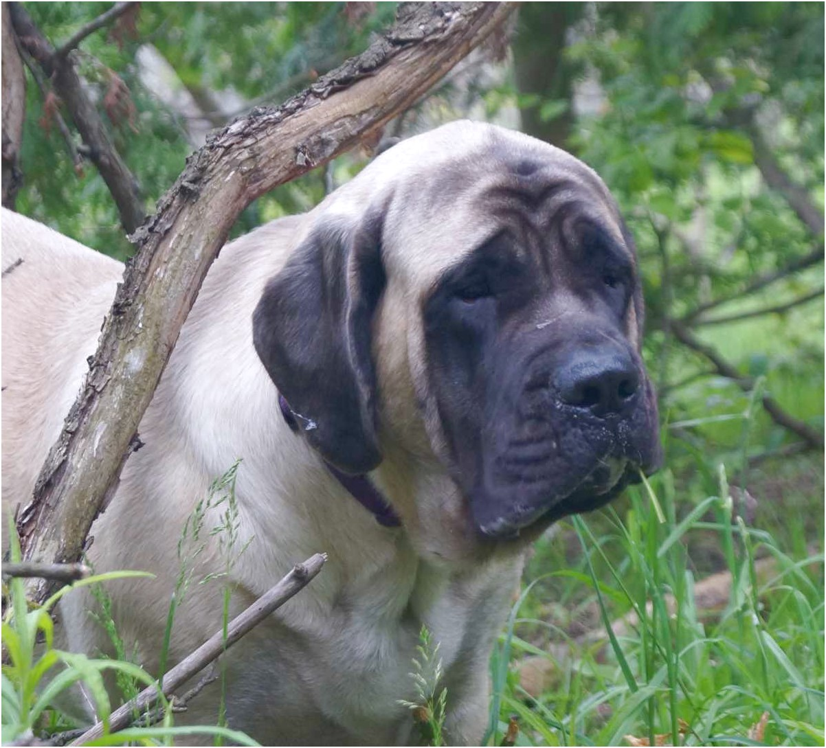 english mastiff rescue sc