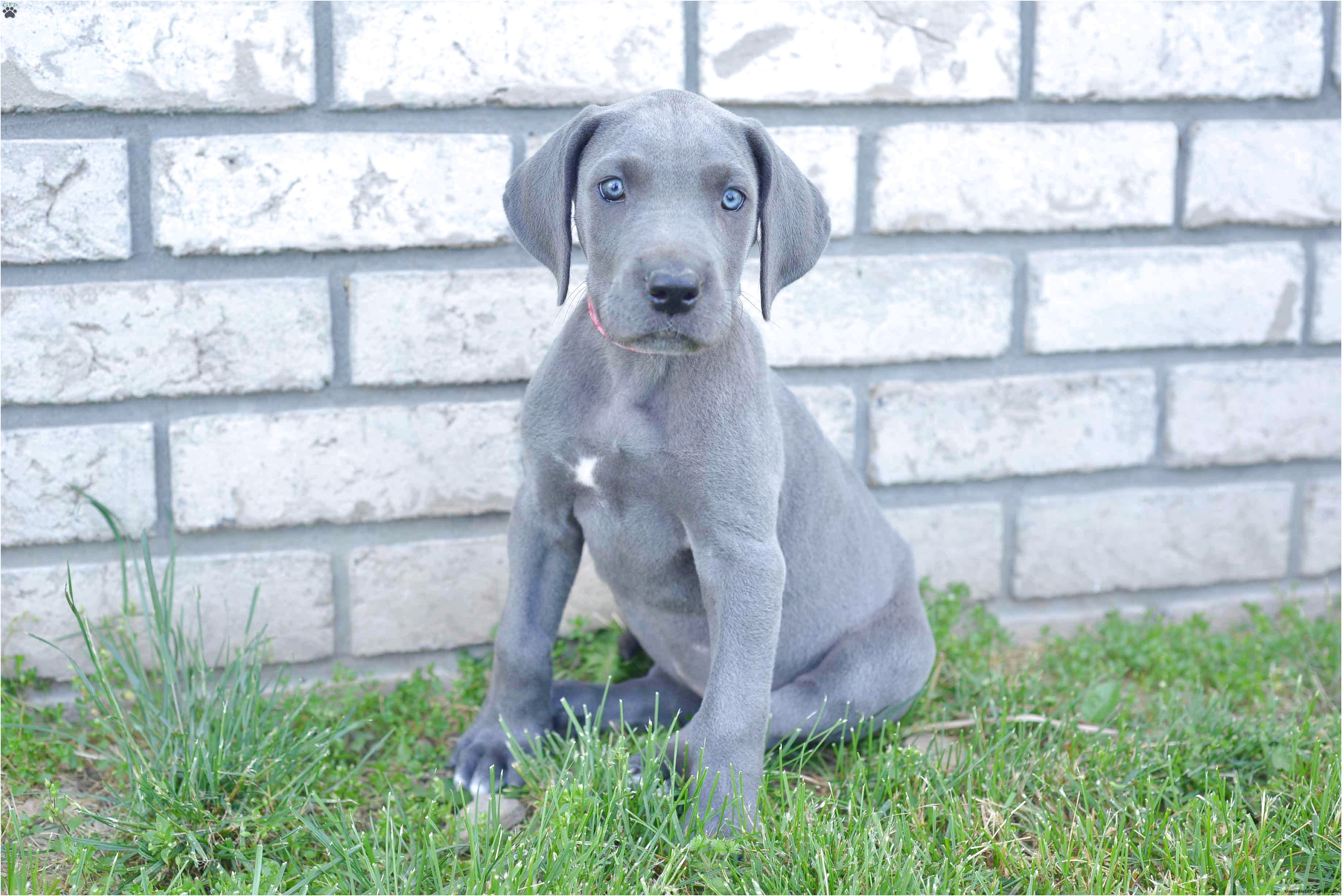 euro great dane puppies for sale ohio