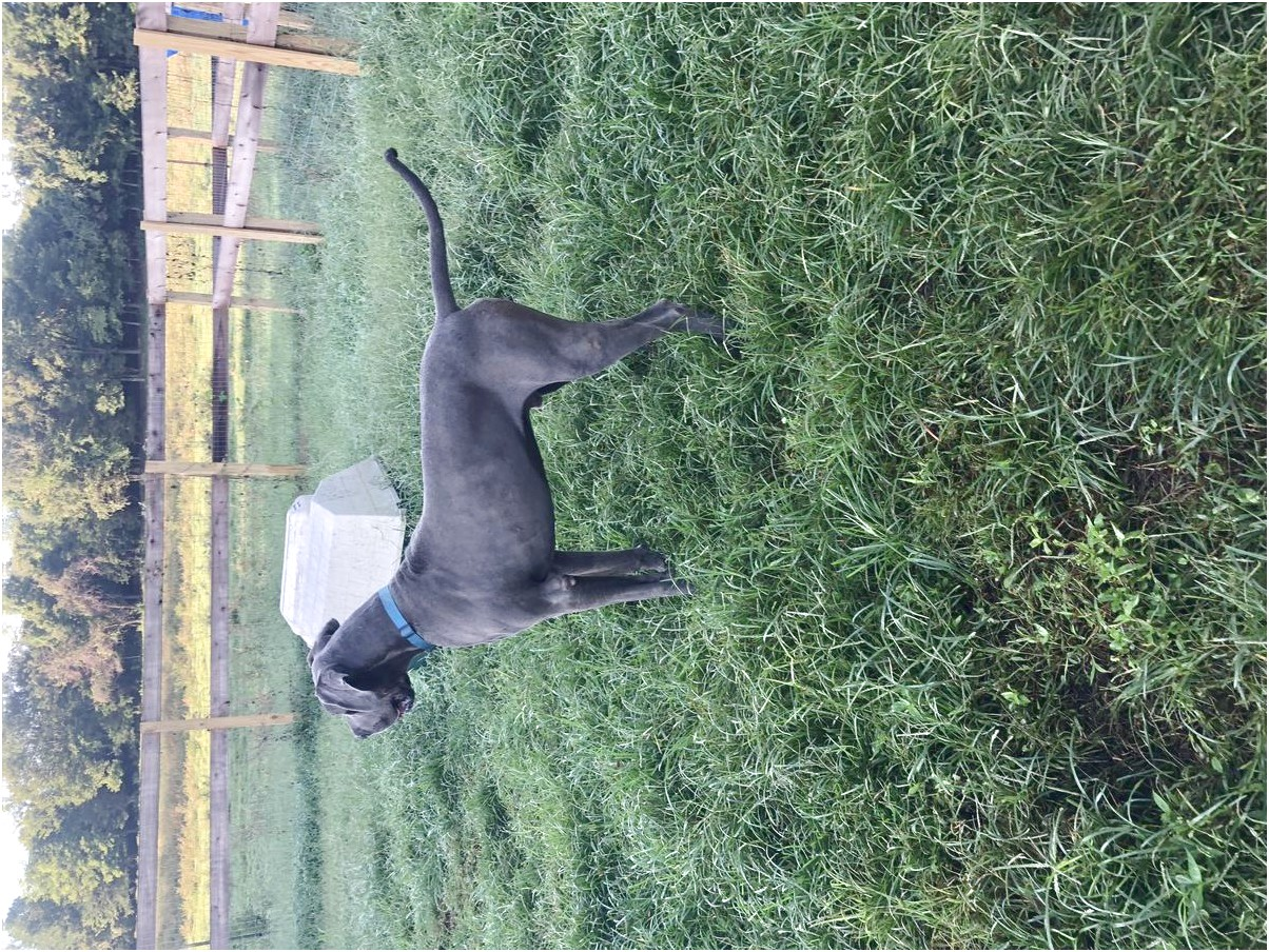 european great dane puppies for sale california