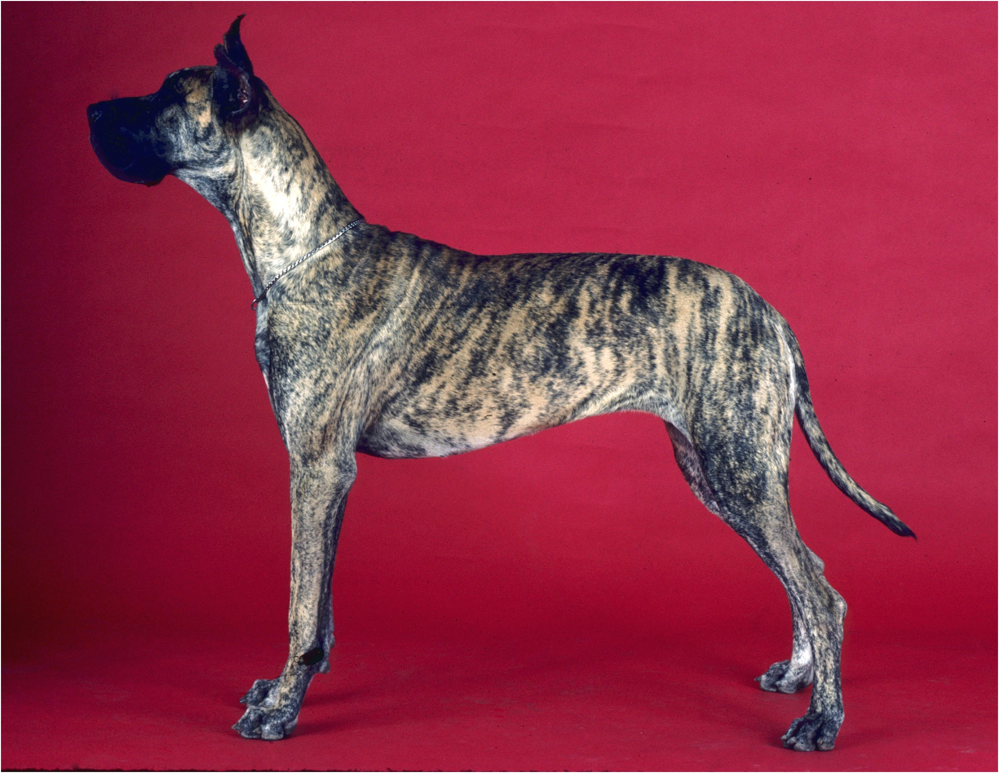 fawn great dane puppies for sale in california