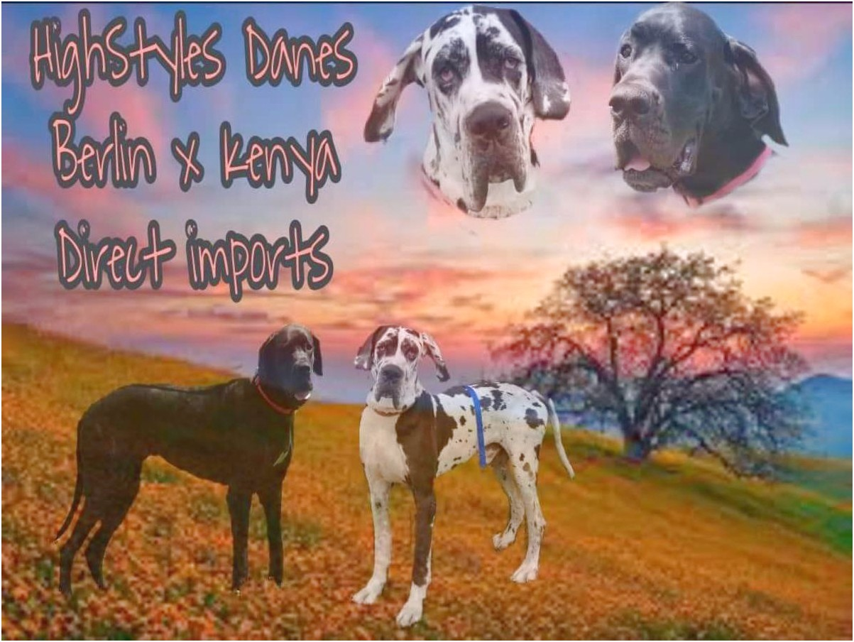 fawn great dane puppies for sale in ohio