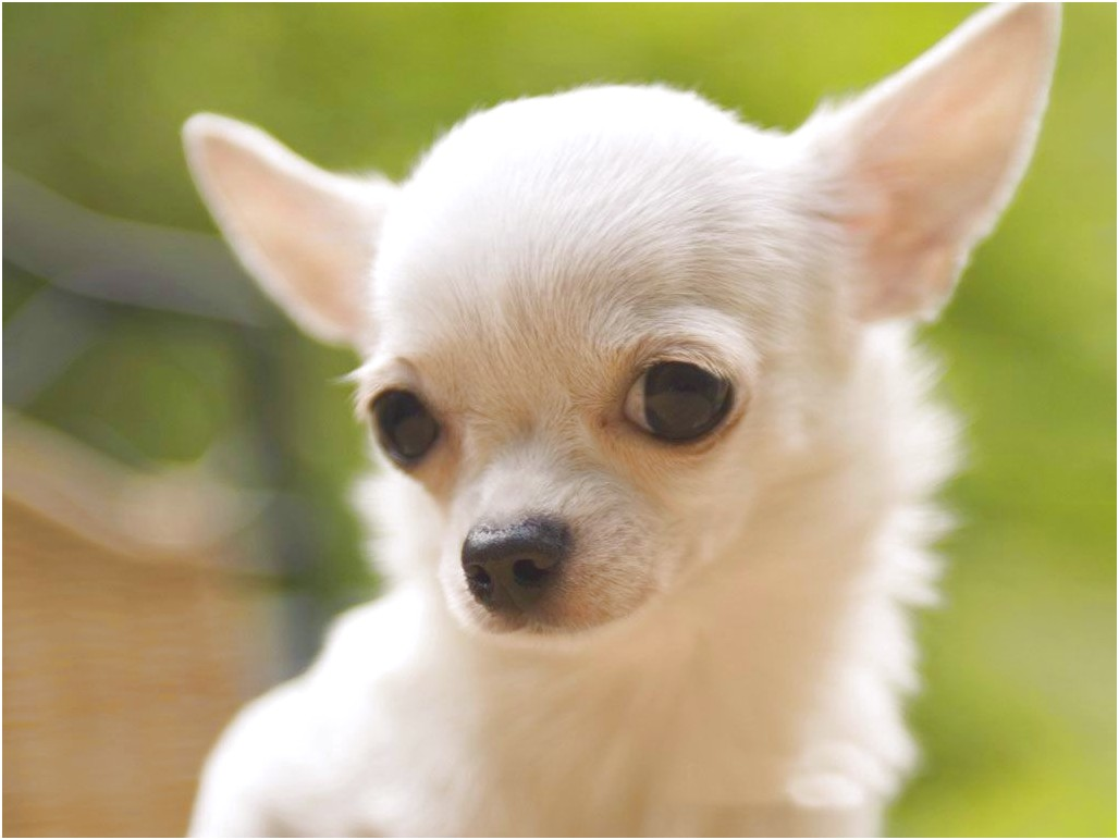 female chihuahua for sale in va