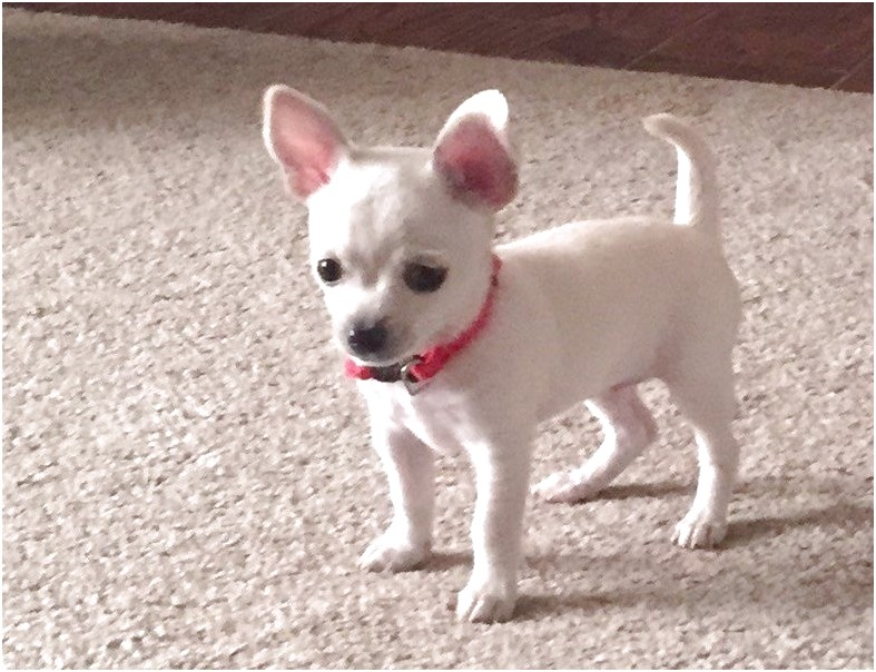 female chihuahua puppies for sale near me