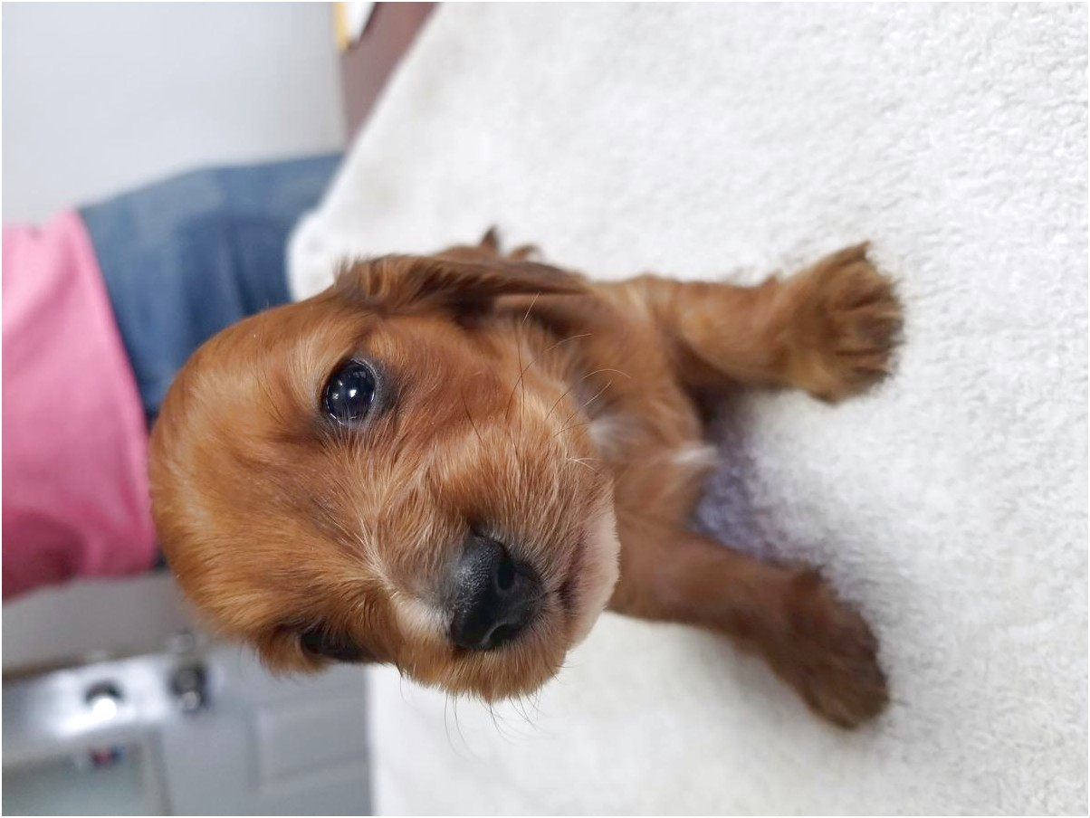 female dachshund puppies for sale in ohio