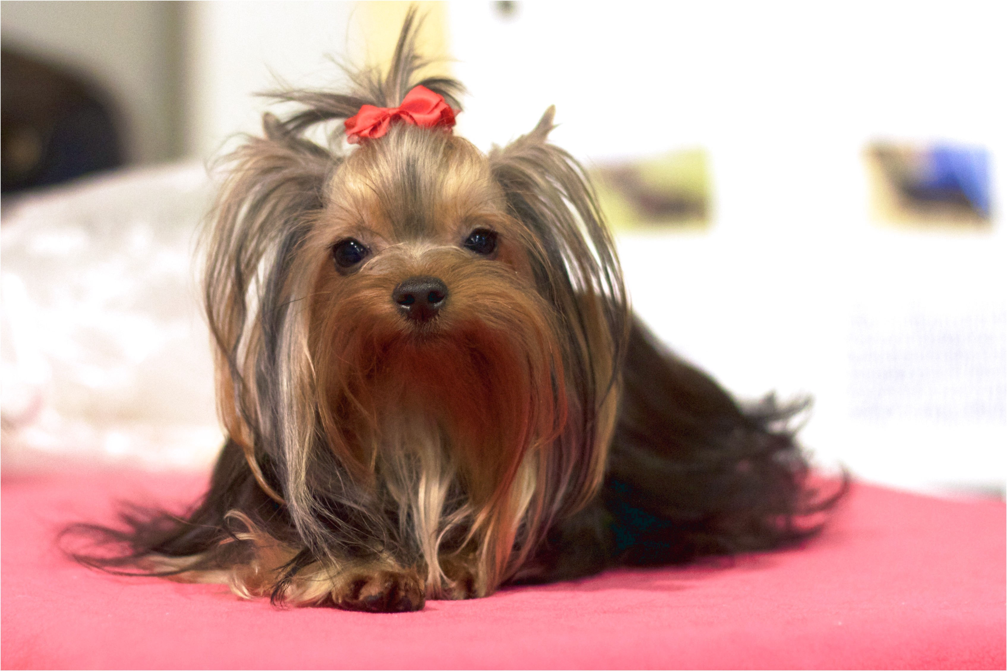 food for yorkshire terrier puppies