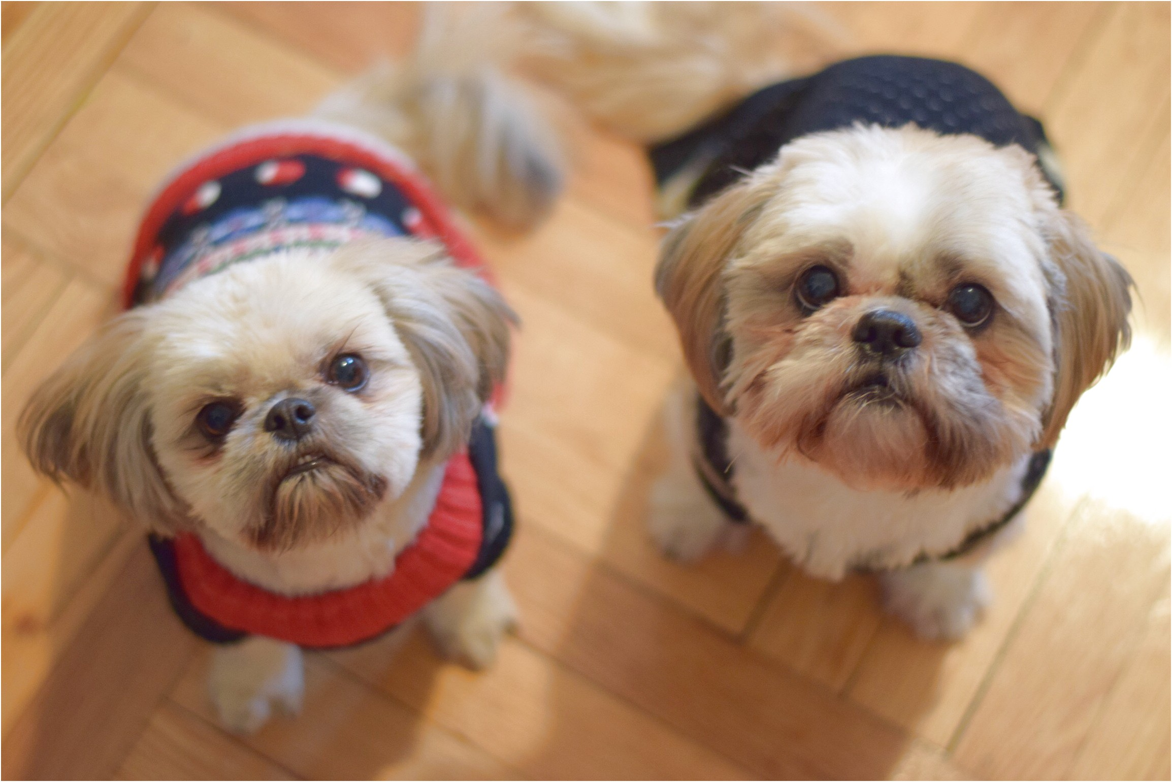foods that are good for shih tzu