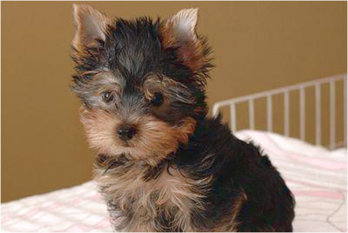 for sale yorkshire terrier puppies