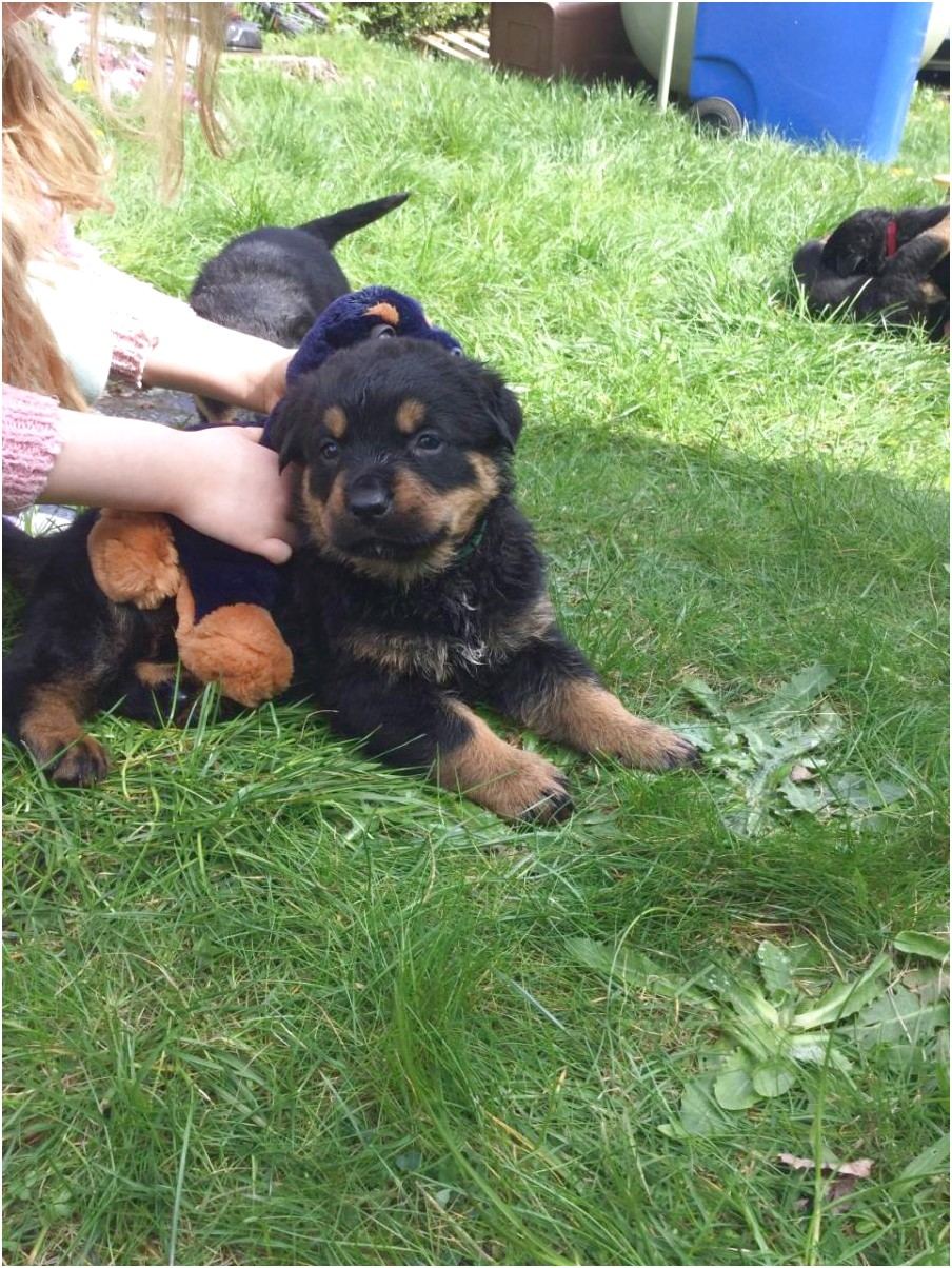 german rottweiler puppies for sale in dfw