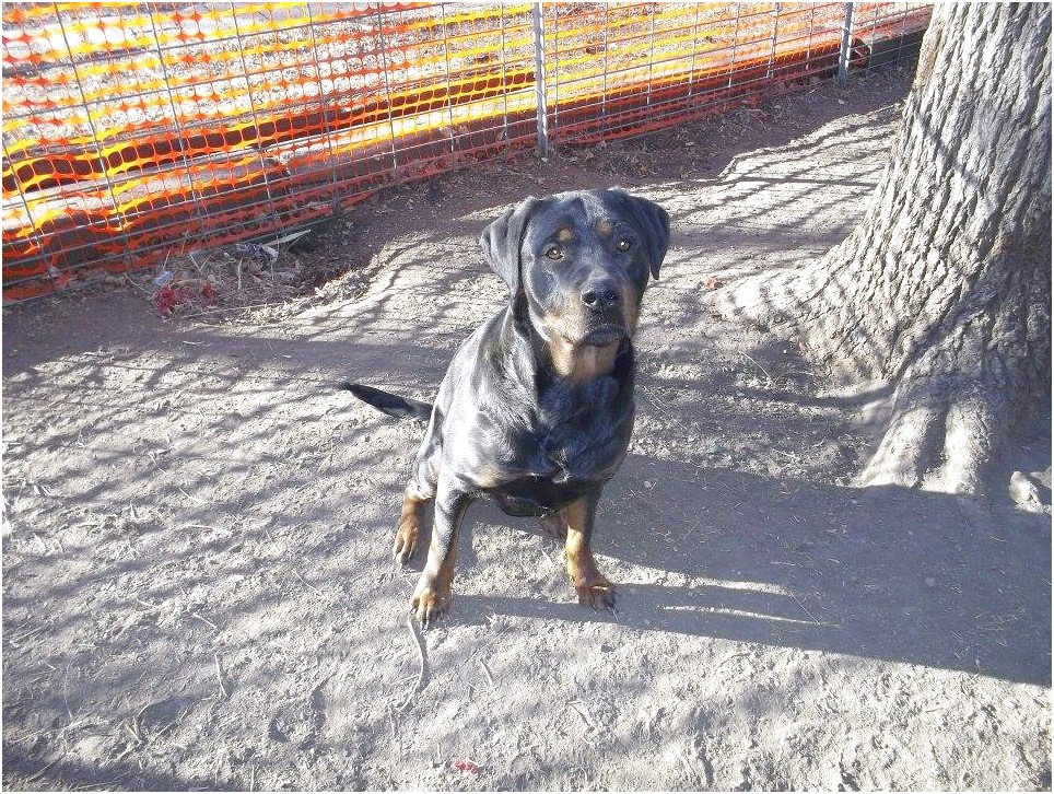 german rottweiler puppies for sale in fort worth texas