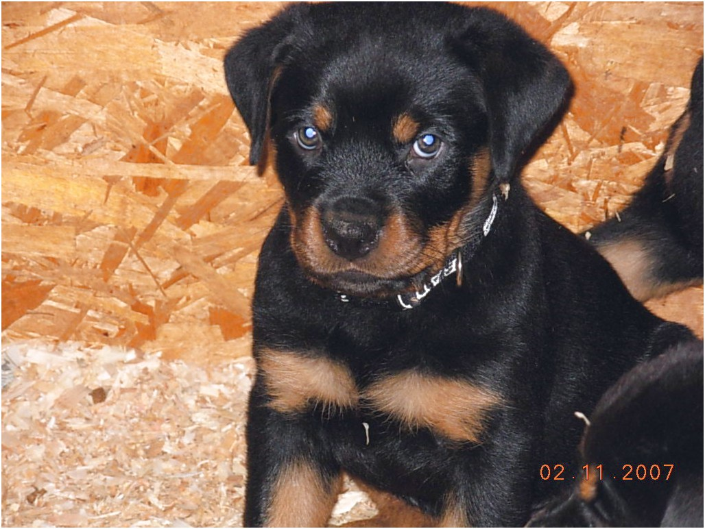 german rottweiler puppies for sale in ga
