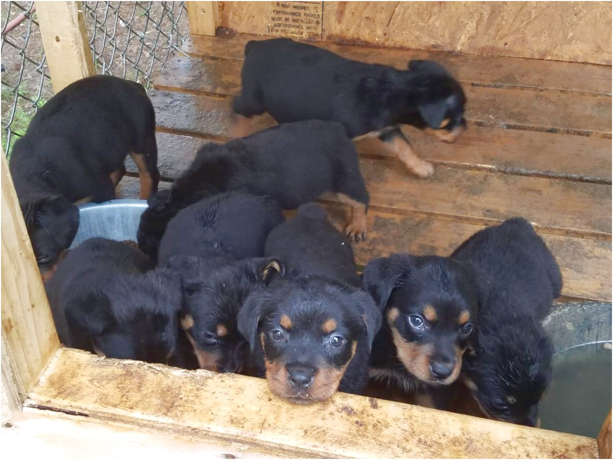 german rottweiler puppies for sale in greenville sc