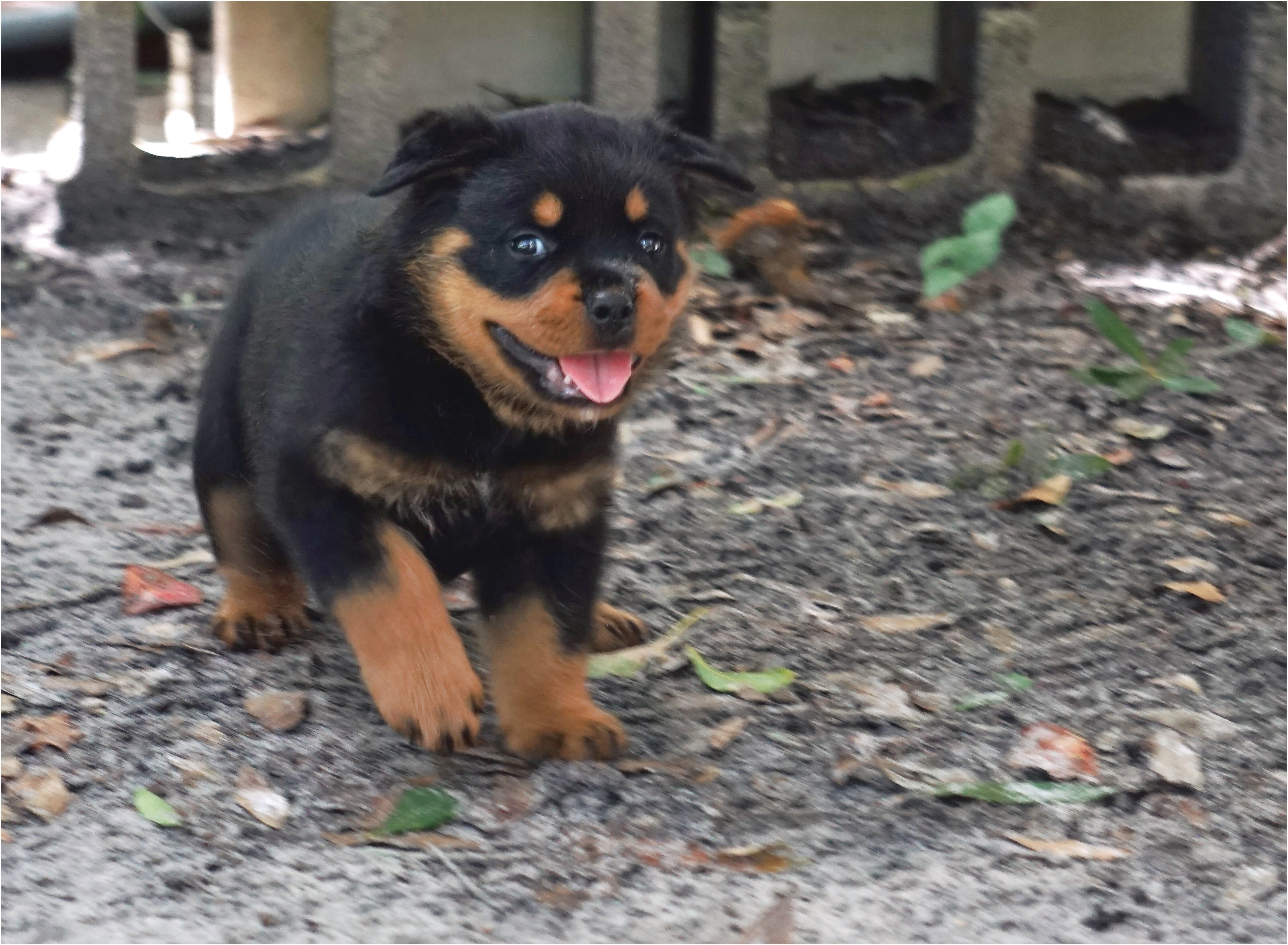 German Rottweiler Puppies For Sale Tampa Fl