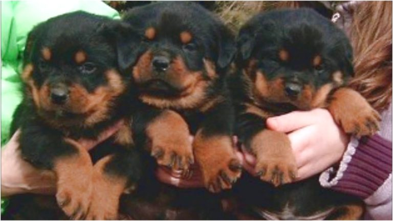 german rottweiler puppies for sale tennessee