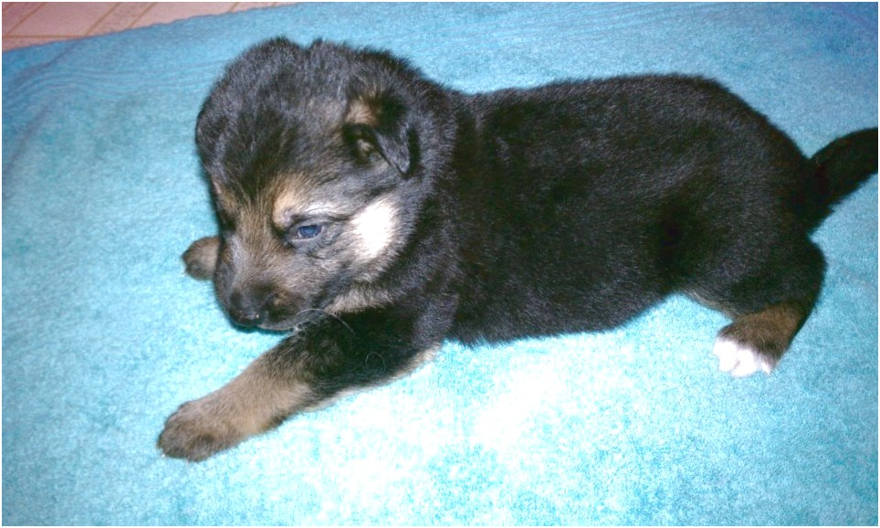 german shepherd puppies for sale full breed
